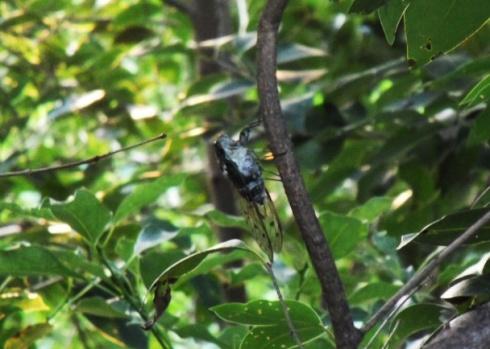 mondo cicada