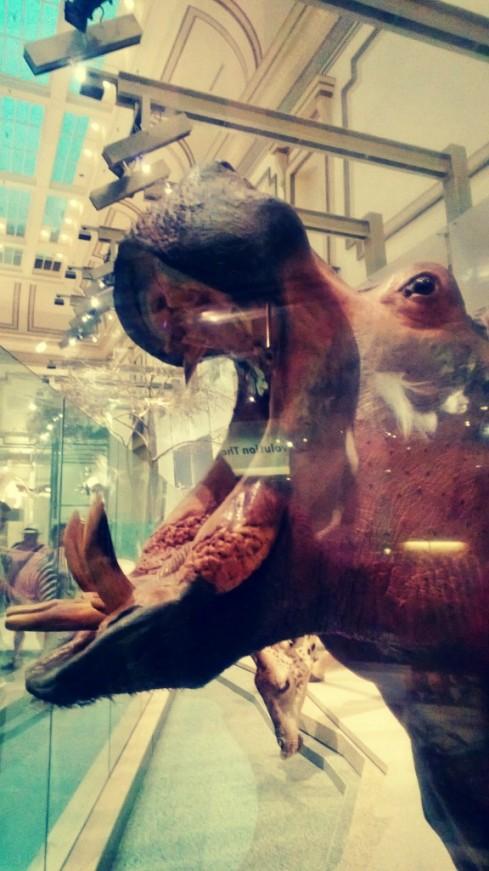 smithsonian hippo